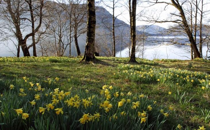 daffodils-by-the-lake-val.jpg